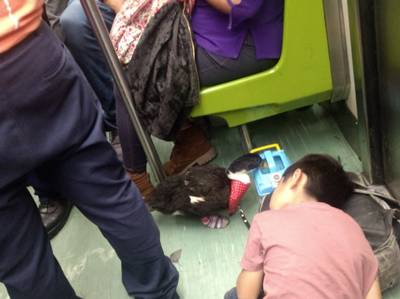 Resultado de imagen para pato en metro cdmx